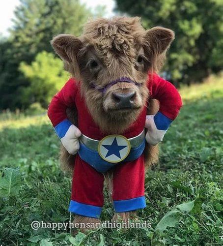 Conoce a Baby James, la vaca que se cree perro James4-454x500