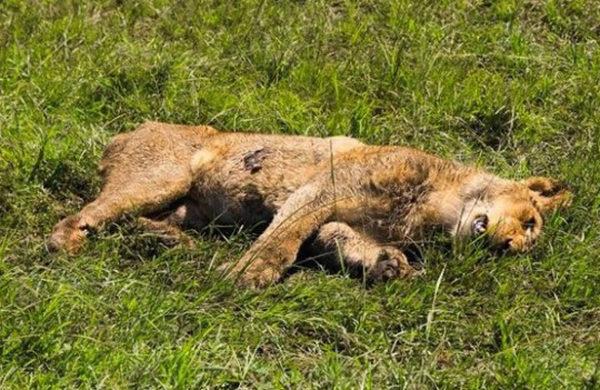 Encuentran 11 leones muertos en un parque nacional de Uganda leon-uganda-600x390