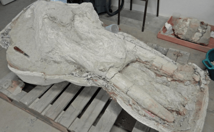 Por accidente hallaron un cráneo de mastodonte, el único conocido en su especie mastodonte_craneo_4