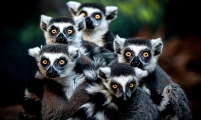primates que se extinguieron