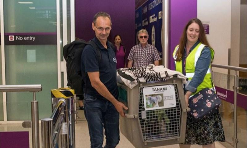 Para su conservación un koala viajó en un avión a Escocia koala-viaj%C3%B3-en-un-avi%C3%B3n-2