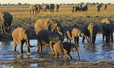 87 elefantes asesinados en África