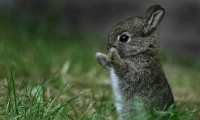 se extinguió el conejo Teporingo
