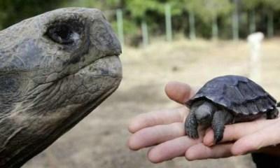 tortugas bebés en las Islas Galápagos