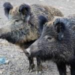 Wildschwein-Problematik in Völklingen