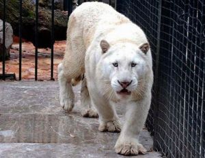 mexico city albino tiger