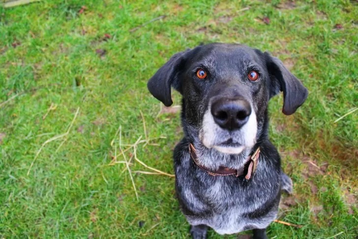 Best Dog Collars For Great Dane