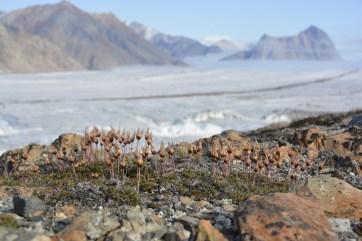 Plant life along the ridge of the Milne Glacier.
