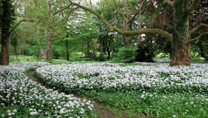Bärlauch im Putbuser Park: Es liegt was in der Luft…