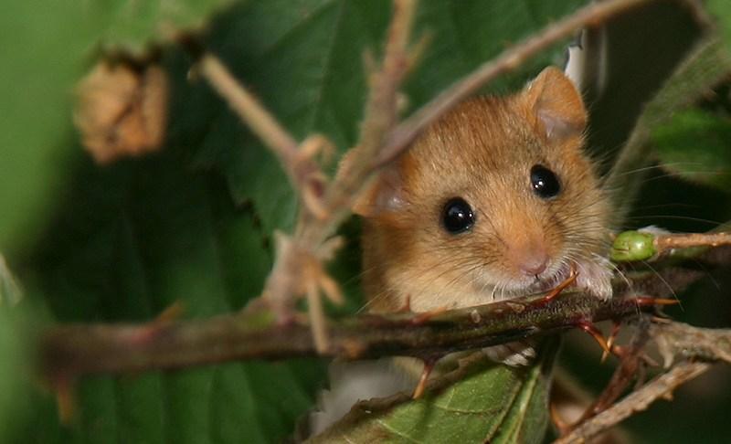 Seltene Haselmaus erneut im Biosphärenreservat nachgewiesen