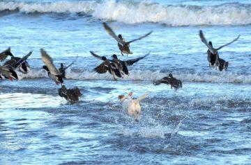 Cooler Hund: ABinz Wasser zur Entenjagd