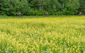 three people bicycle past a field of yellow flowers