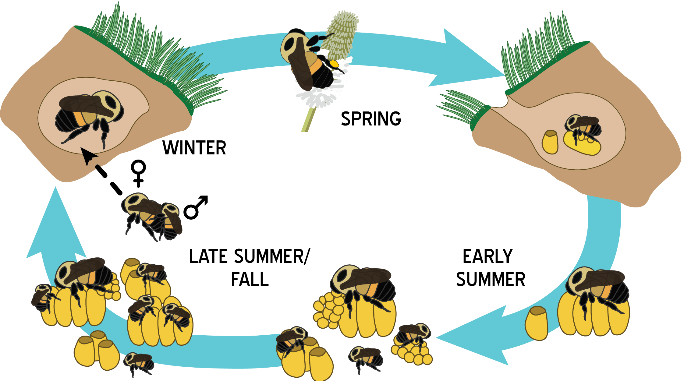 Bumble Bee Life Cycle Worksheet