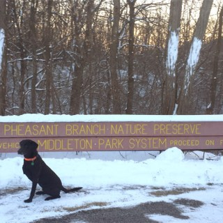 Lola the Lab at Pheasant Branch Conservancy