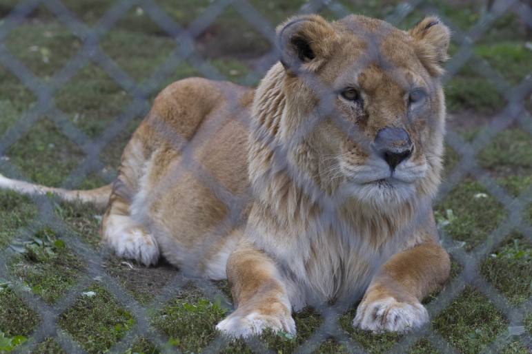 """This lion is one of 39 big cats currently at Valley of the Kings, a wildlife sanctuary in Sharon. Many of the animals who call the sanctuary their home have been abandoned or surrendered by private owners who kept them as pets. Some experts believe the """"lion-like"""" creature seen roaming around Milwaukee may be someone's escaped pet."""