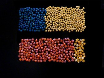 Farmers have dramatically increased the use of a class of insecticides called neonicotinoids, primarily through pesticide-treated corn and soybean seeds. The image illustrates the estimated proportion in 2011 of treated versus untreated seeds nationwide. At top are blue treated soybean seeds compared to untreated soybean seeds; below are treated red corn seeds versus untreated corn seeds.
