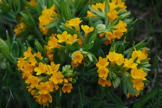 Hairy Puccoon (Lithospermum caroliniense)