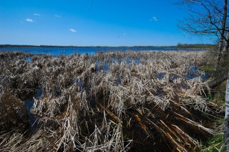 Cattails on the Lake