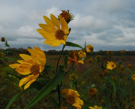 Saw-Tooth Sunflower