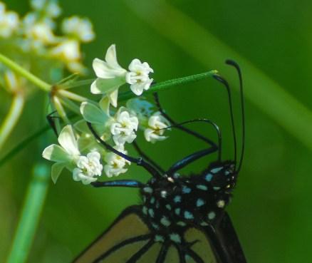 Monarch on Whorled Milkweed