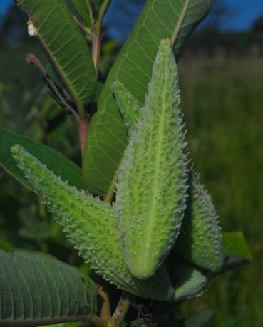 Common Milkweed Pods