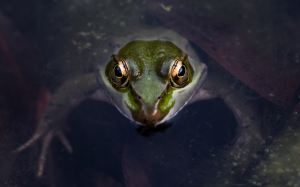 frog face popping out of water