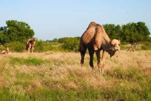 camel-1-300x201