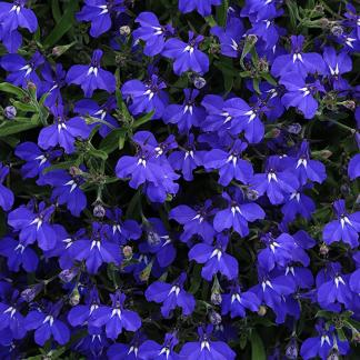fiori blu lobelia tabacco indiano semi online