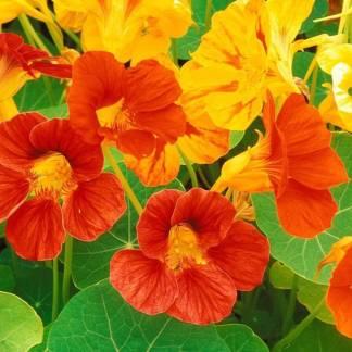nasturzio fiori eduli foglie piccanti semi online