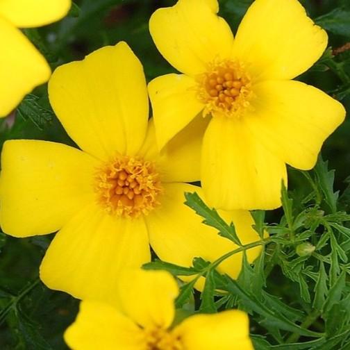 fiori tagete giallo semi