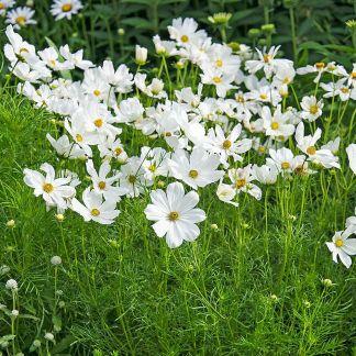 fiori bianchi cosmos semi