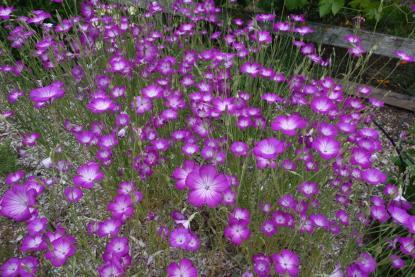 agrostemma fiori campo rosa estate