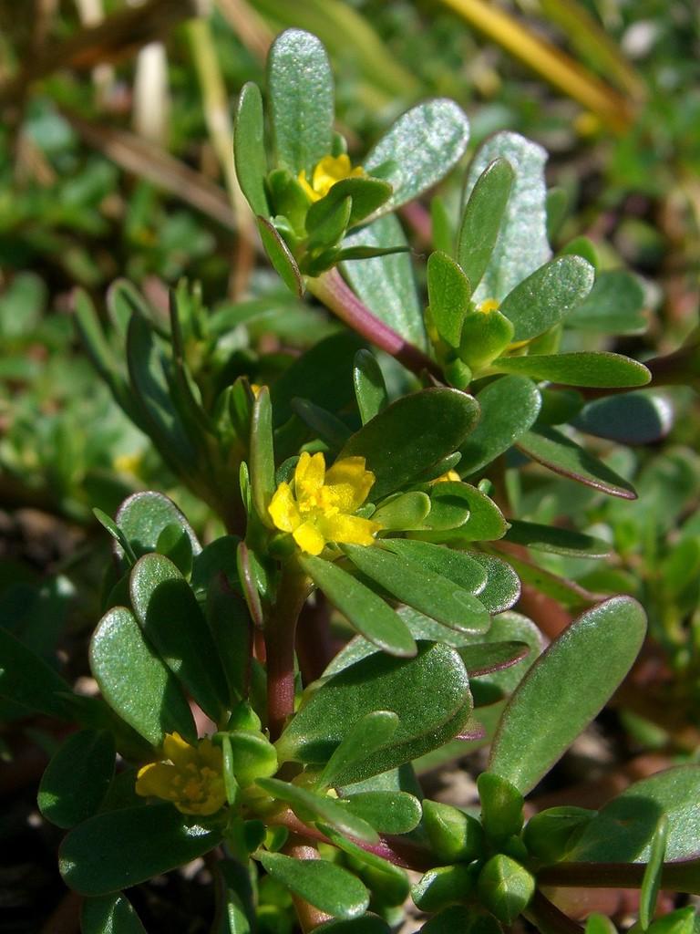 portulaca salento fiori erba semi