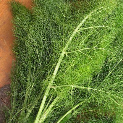 pianta finocchietto selvatico semi piantare