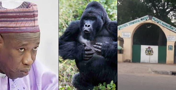 Governor Ganduje Reveals How Kano's Gorilla Will Vomit Swallowed N6.8M