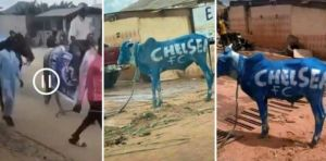 Nigerian Chelsea Fans Holds Rally With Cows Ahead Of UCL Final