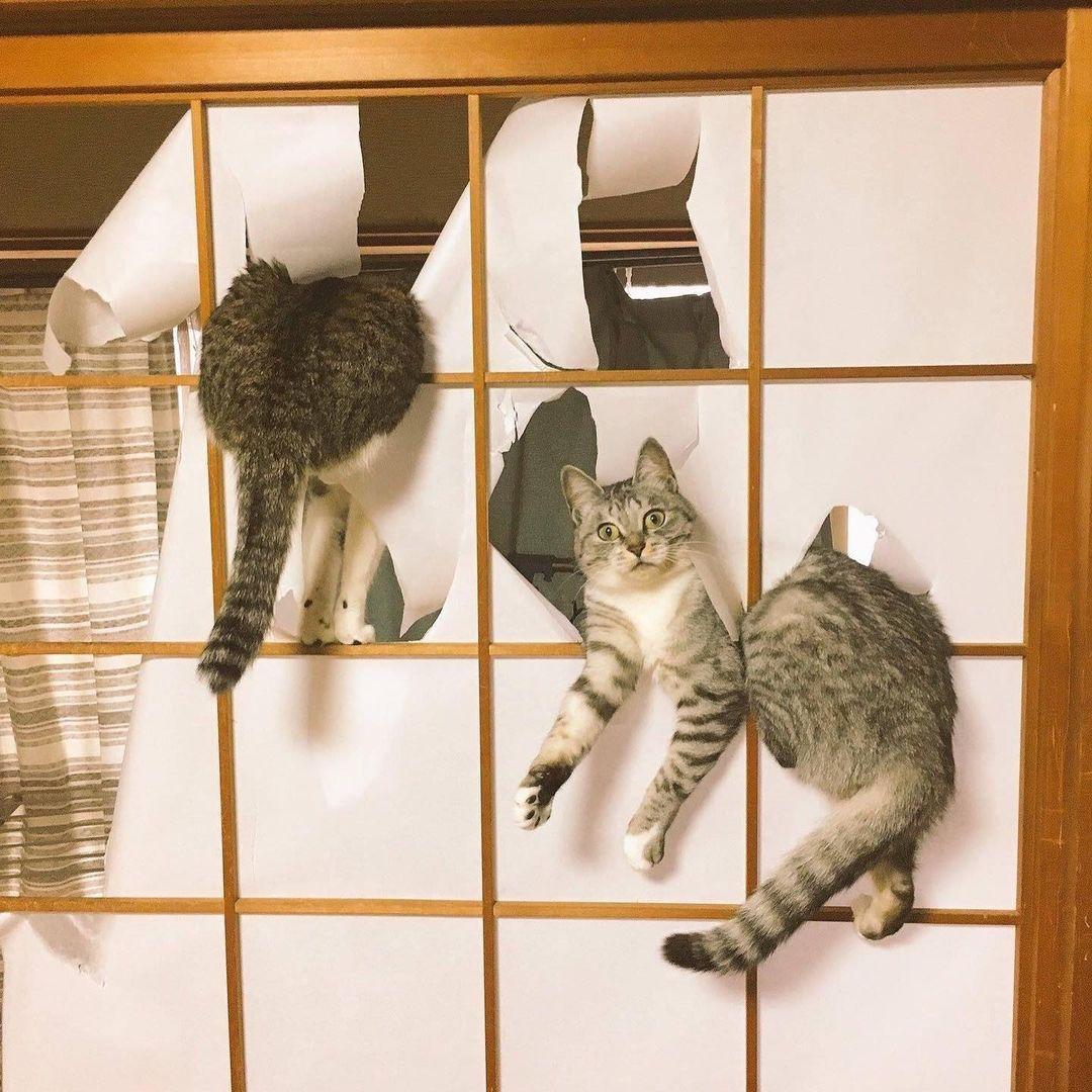 Los gatos son incompatibles con las puertas japonesas.