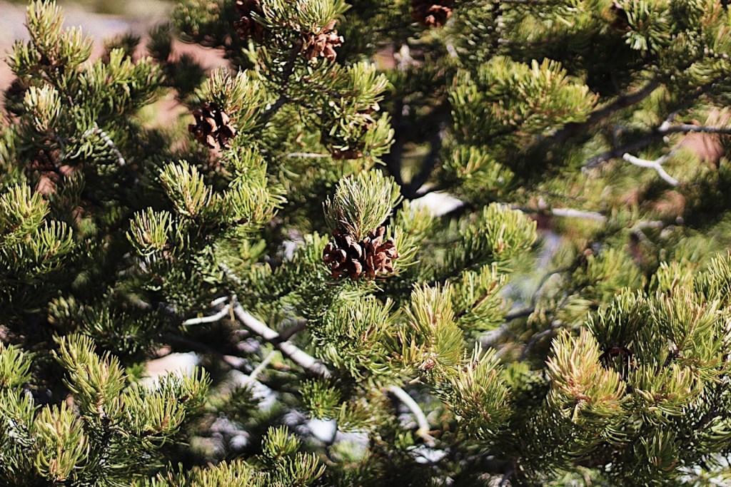 pines in torrey utah