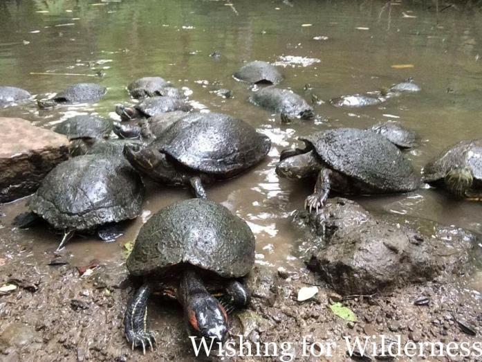 Terrapins in the wild in Panama City