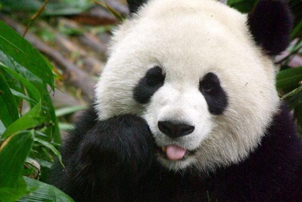 2409526-panda-1