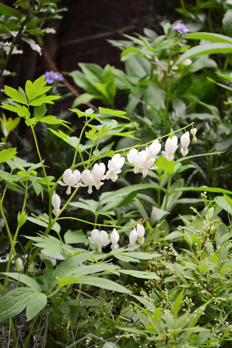 White Bleeding Heart