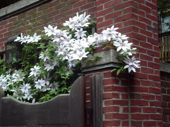 A clematis cascades over a hidden garden gate on Beacon Hill