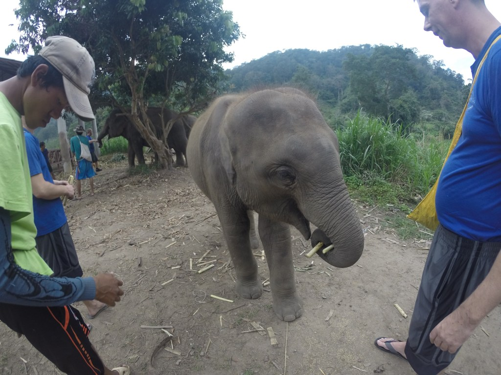 GoPro image of a baby elephant enjoying sugarcane at Chiang Mai Mountain Sanctuary in Chiang Mai, Thailand