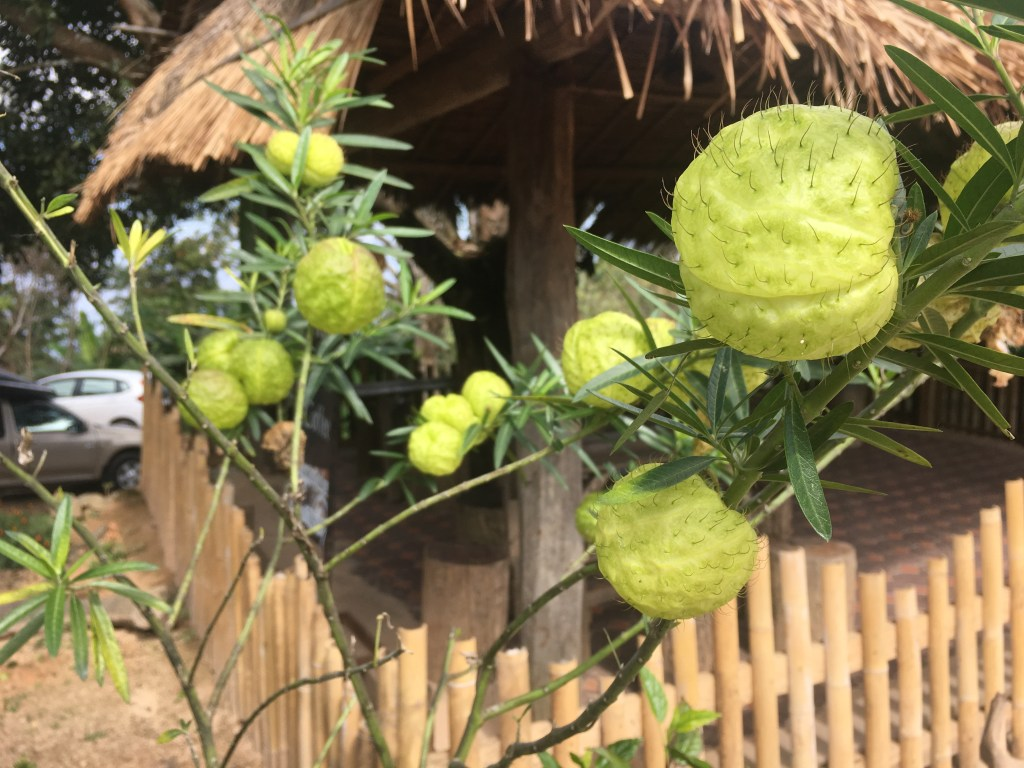 Interesting green and spiky-looking fruit at coffee plantation in Chiang Mai, Thailand.