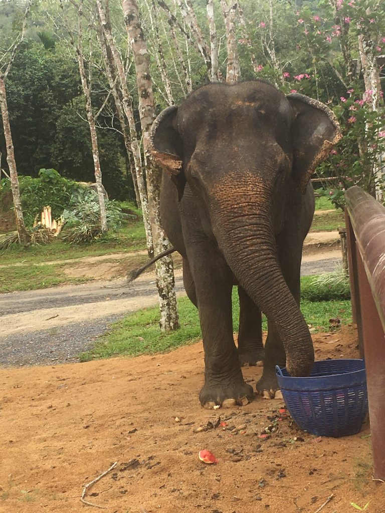 Elephant feeding at Phuket Elephant Sanctuary in Phuket, Thailand