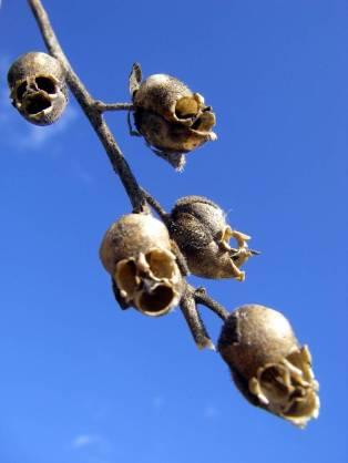 snapgdragon seed pod skull dragons skull