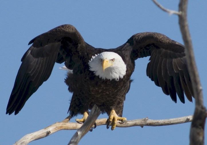 bald-eagle-936690_960_720