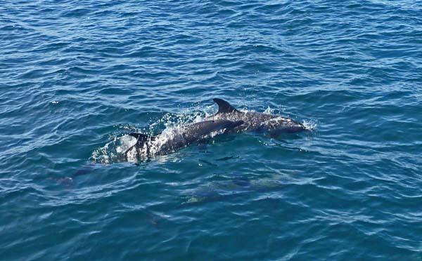 Dolphins   Brio