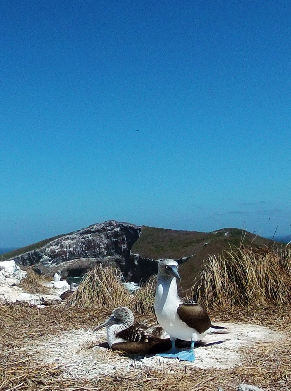 Blue footed boobie birds on Isla Isabela