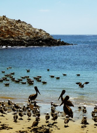 Pelicans and some kind of adorable seagull population hanging out in Isla Isabela